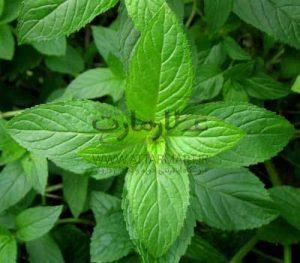 گیاه دارویی نعناع