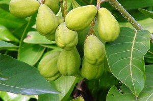 میوه هاریتاکی