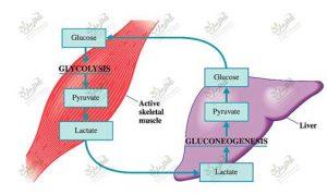 گلوکونئوژنز